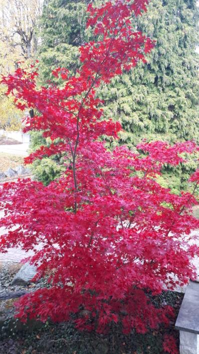 Gartenbau_Baum_rot_Herbst