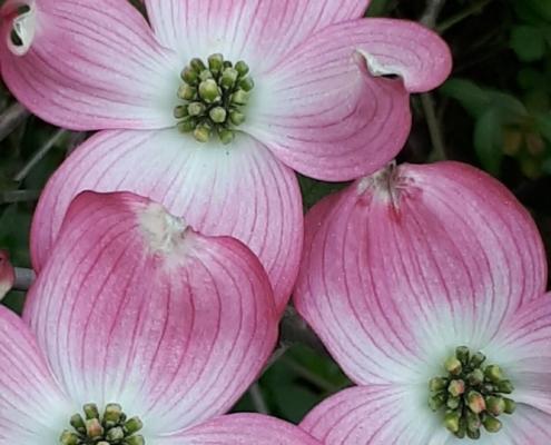 Stauden Blumen rosa Fruehling