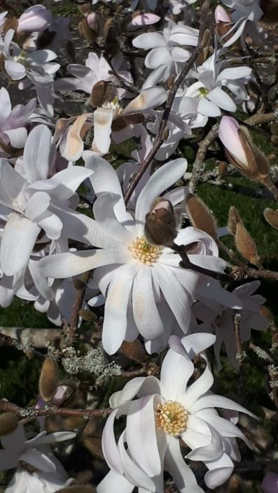 Garten Baum Magnolie Blueten Fruehling weiss