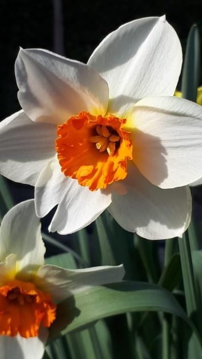Garten Fruehling Blumen weiss Ostern Narzissen