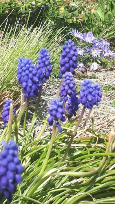 Garten Blumen Fruehling Blueten violett Traubenhyazinthen