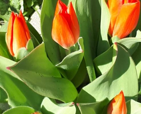 Blumen Tulpen Garten Fruehling orange